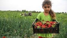 برداشت توت فرنگی در مازندران/تصاویر
