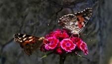 هجوم پروانههای زیبا به تهران/تصاویر
