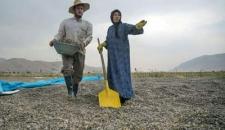 برداشت و خشک کردن تخمه در روستای «چمه»/تصاویر