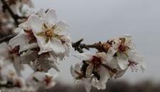 شکوفههای بهاری درخت بادام/تصاویر