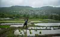نشاء برنج در شهرستان سواد کوه/تصاویر