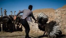 احیای روستای خالی از سکنه با پرورش شتر مرغ/تصاویر